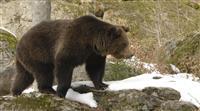 Comment se comporter face à un ours dans les Pyrénées